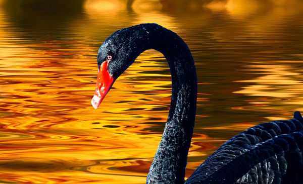 Black Swan Gold Price